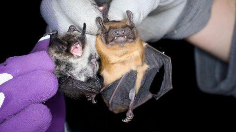 Pildil kõrvuti Eesti kõige väiksem nahkhiireliik kääbus-nahkhiir (3,5 g) ja suurvidevlane (35 g).