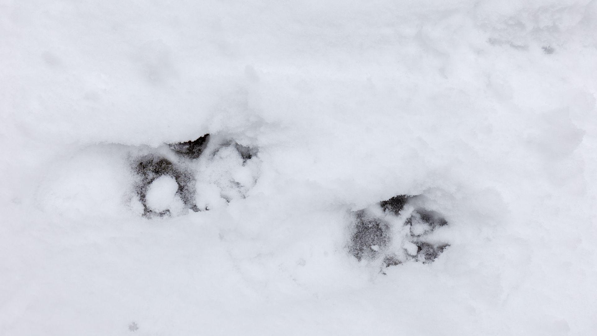Jahimehed kahtlevad, kas suurenenud huntide küttimismaht on täidetav: