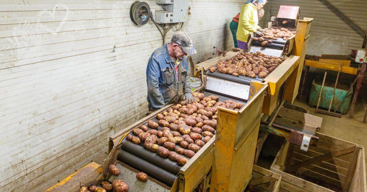Kartulikasvatajad ootavad tänavu rekordilist saaki