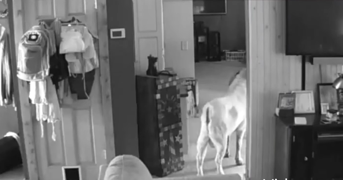 Video: majja tunginud murdvaras osutus uinakupaika otsinud sarviliseks