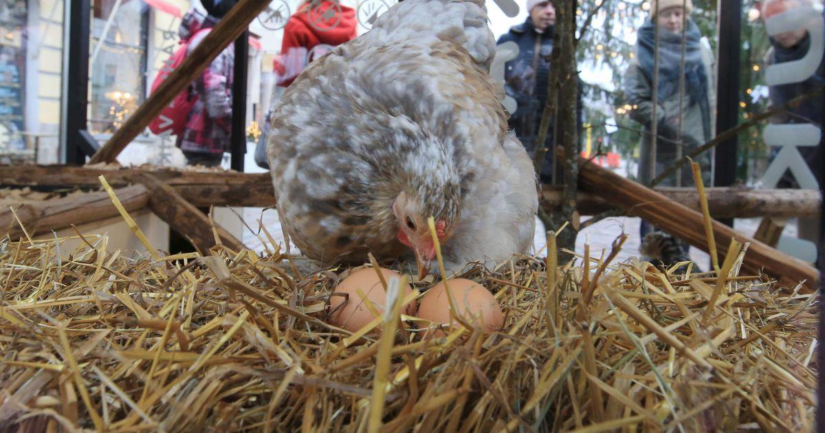 Tartu jõululinna kana hakkas munele