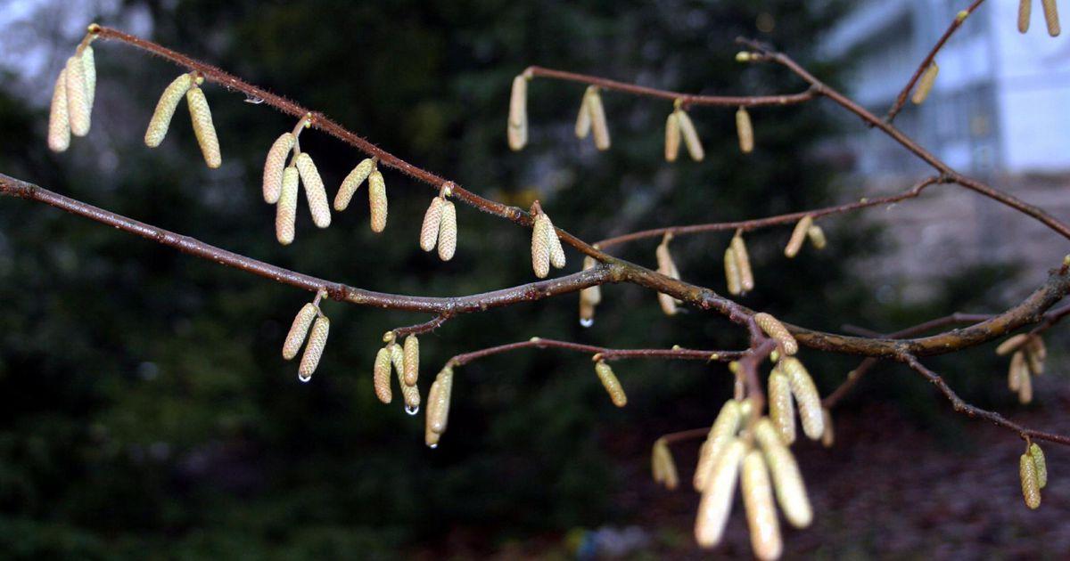 Kevad toob allergikutele rasked ajad
