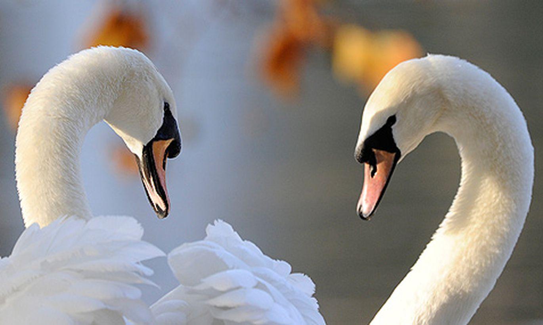 фильме очень пара любящих лебедей в полете фото установке накладку, предварительно