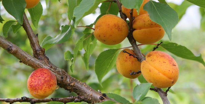 7334c988a5f Virsikud, aprikoosid ja arbuusid Eesti kliimas - Nõuanne - Maa Elu