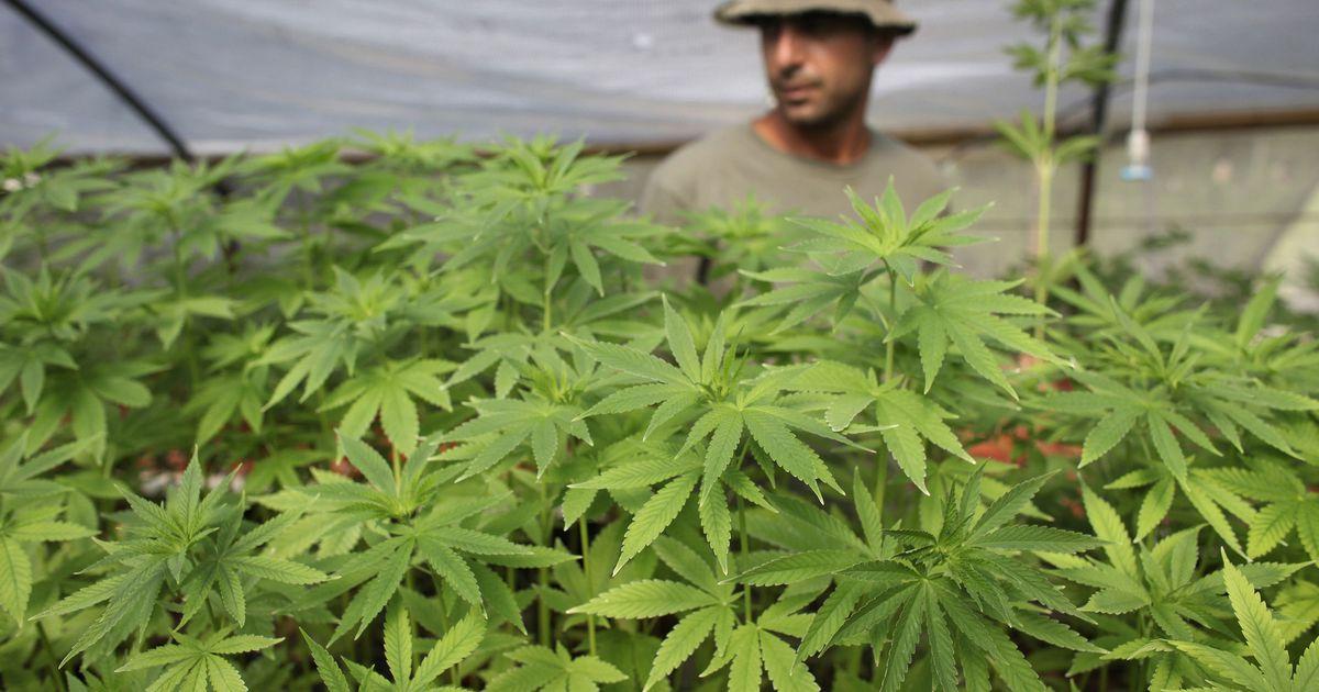 Где можно достать коноплю как найти марихуану в вене