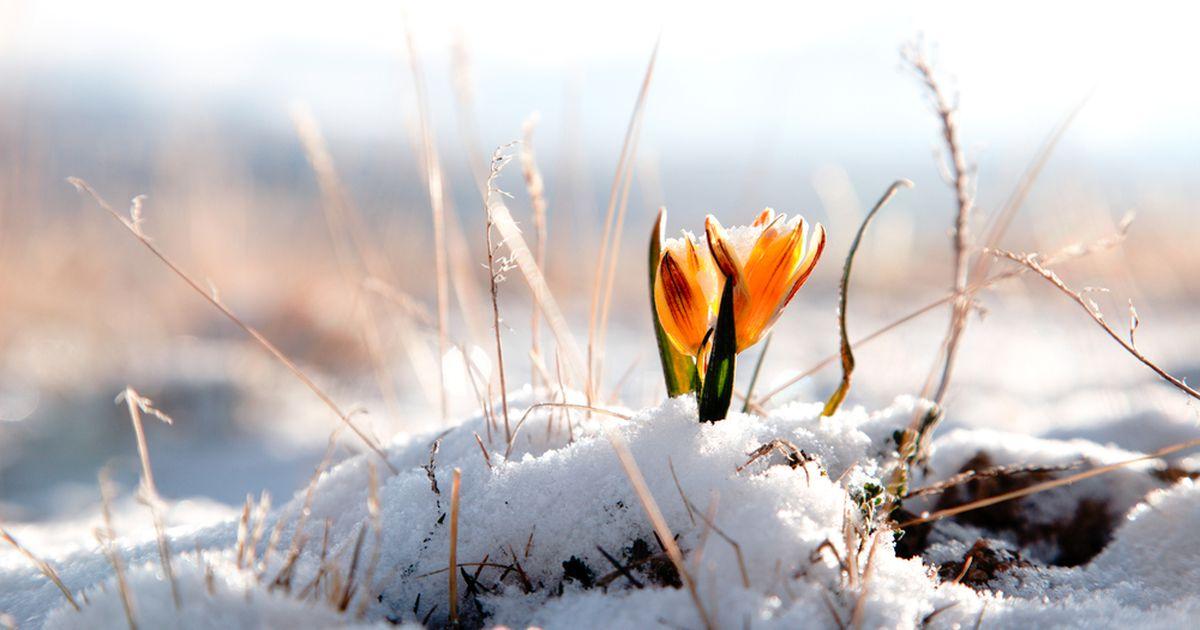 Foto: Eesti naise koduaias näeb juba esimesi kevadekuulutajaid